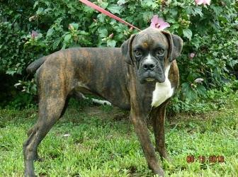 Malcom adult male Boxer