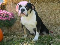 karma-adult-female-olde-english-bulldogge
