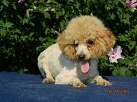 poodle-parent-scarlett