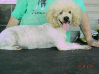 poodle-parents-baby-bear-female