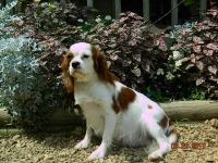 Anna adult female Cavalier King Charles spaniel