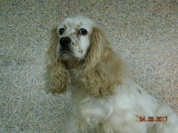 Freckles adult female Cocker Spaniel