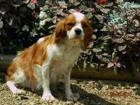 Lilly adult female Cavalier King Charles spaniel
