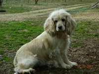 Ginger adult Cocker Spaniel Female