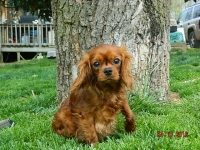 Honey adult Cavalier King Charles