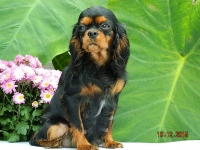 June Bug adult Cavalier King Charles Spaniel