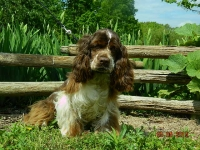 Lynn adult female Cocker Spaniel.JPG