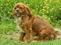 binky-adult-female-cavalier-king-charles-spaniel