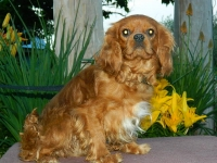 Ruben Adult male Cavalier King Charles Spaniel  {Retired}