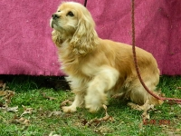 Cleo Adult Male Cocker Spaniel