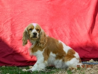 Pepper Adult Male Cocker Spaniel