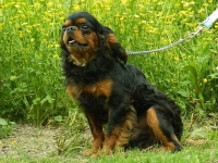 darth-vader-adult-male-cavalier-king-charles-spaniel