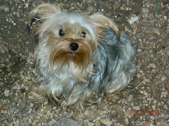 Rocky Top K 9 S Quality Breeds Terrier Puppy Parents Rocky Top K