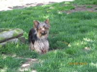cheri-adult-female-yokshire-terrier