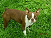 Ce Ce adult female Boston Terrier.JPG