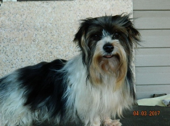 Scotch adult male Yorkshire Terrier