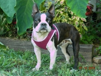 Buddy adult male Boston Terrier