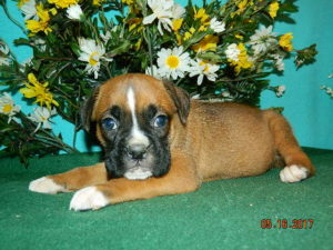 Boxer puppy Missouri