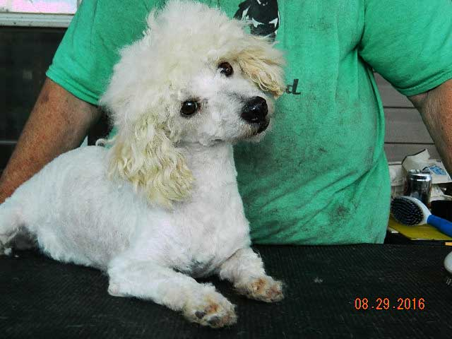 Poodle Parents Rocky Top K9s Missouri Poodle Puppies For