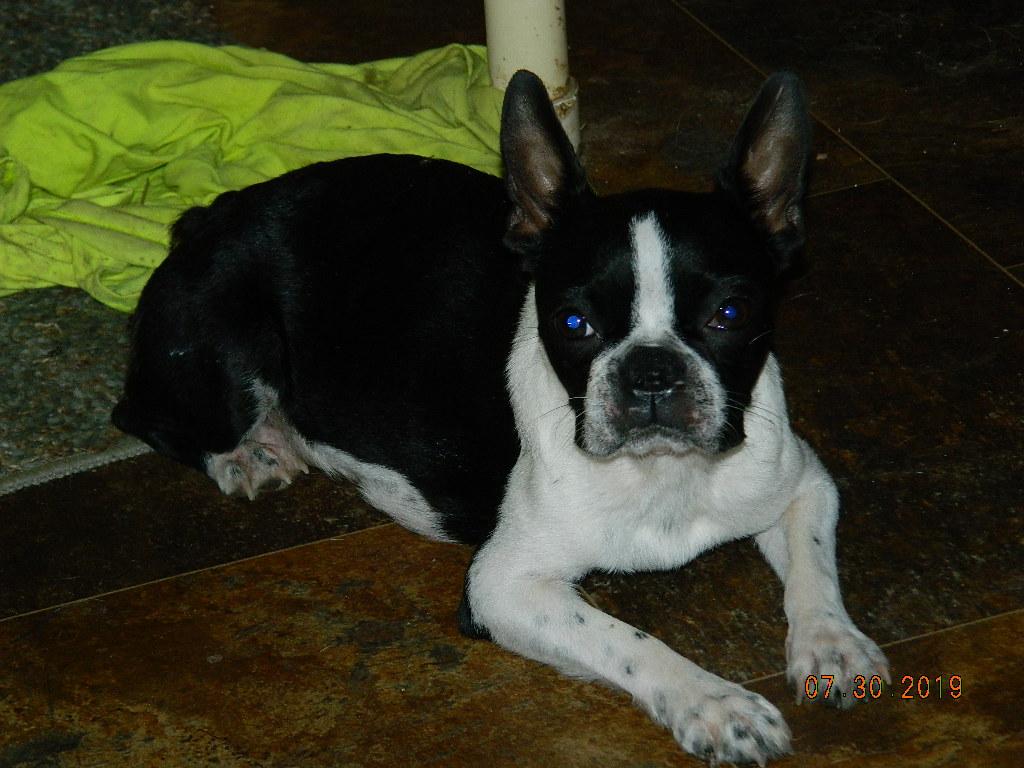 Rocky Top K-9's Quality Breeds - Terrier Puppy Parents | Rocky Top K