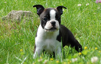 Rocky Top K-9's Boston Terrier