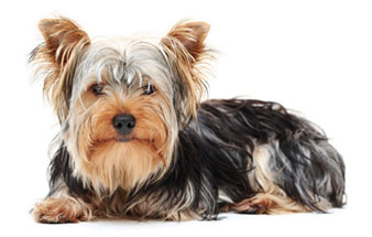 Rocky Top K-9's Yorkshire Terrier
