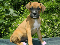 Rocky Top K-9's Boxer Pups