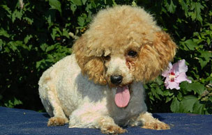 poodle for sale Missouri Rocky Top K9s