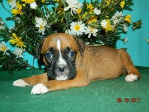 Boxer puppy Missouri